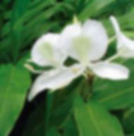 Floral Lírio do Brejo Filhas de Gaia