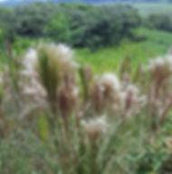 Floral Capim Rabo de Raposa Filhas de Gaia
