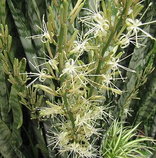 Floral Espada de São Jorge Filhas de Gaia