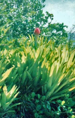 Floral Gravatá Florais Filhas de Gaia