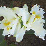 Catléia Branca
