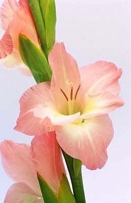 Floral Palma Rosa Florais Filhas de Gaia