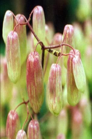 Floral Broto de Saião Florais Filhas de Gaia