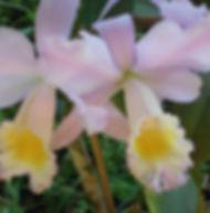 Floral Clatéia Rosa Filhas de Gaia