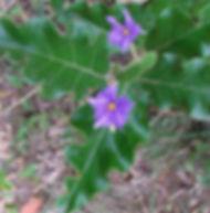 Floral Fruta do Lobo Filhas de Gaia