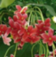 Floral Jasmim da Índia Filhas de Gaia
