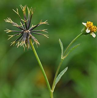 Floral Picão Filhas de Gaia