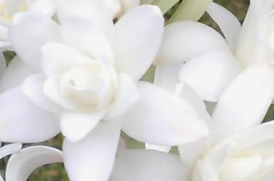 Floral Angélica Perfumada Florais Filhas de Gaia