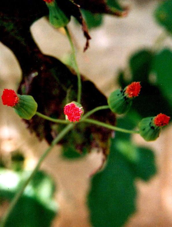 Floral Pincel de Estudante Florais Filhas de Gaia