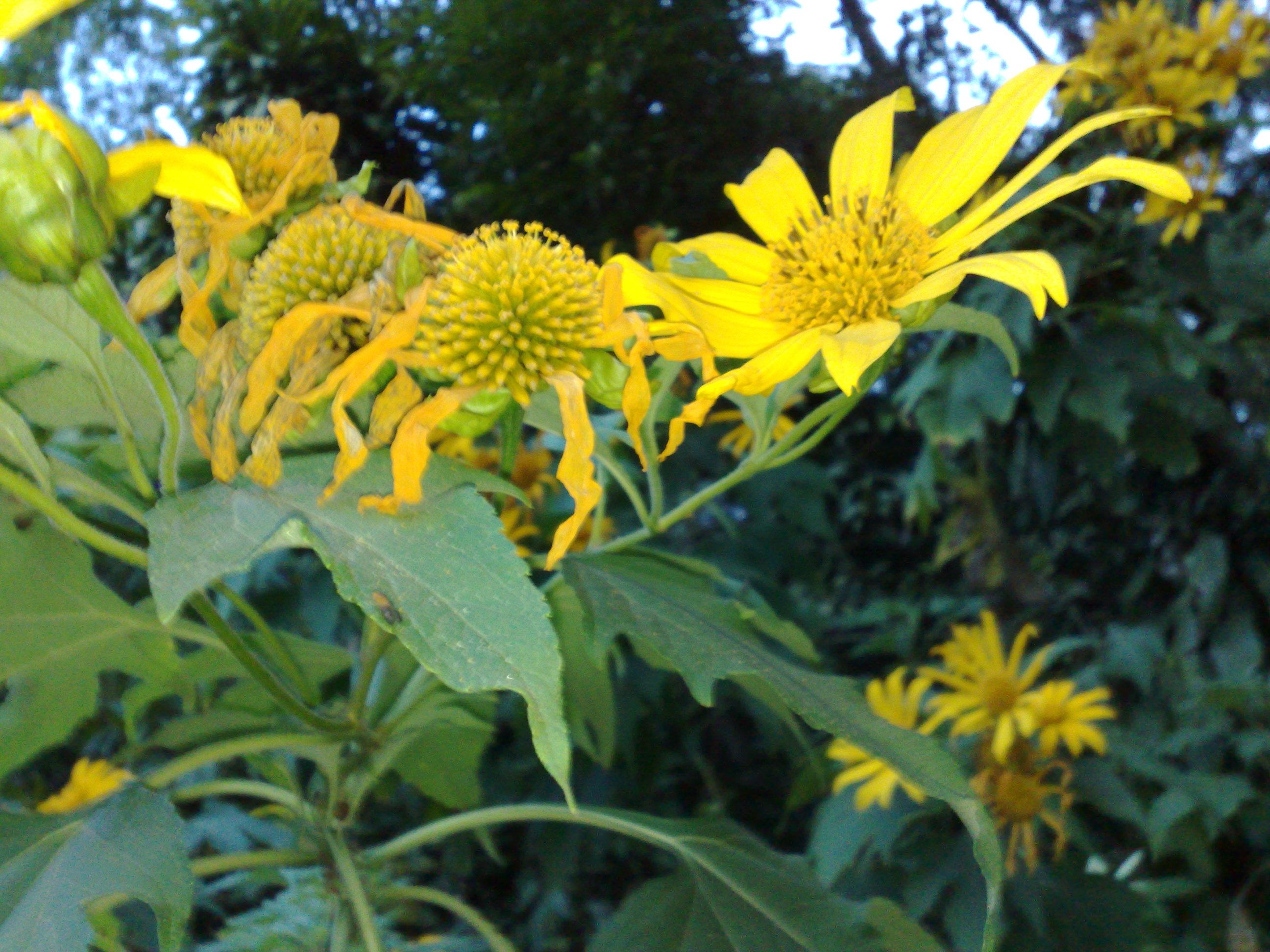 Floral Margaridão Amarelo Florais Filhas de Gaia