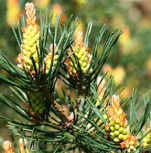 Floral de Bach Pine