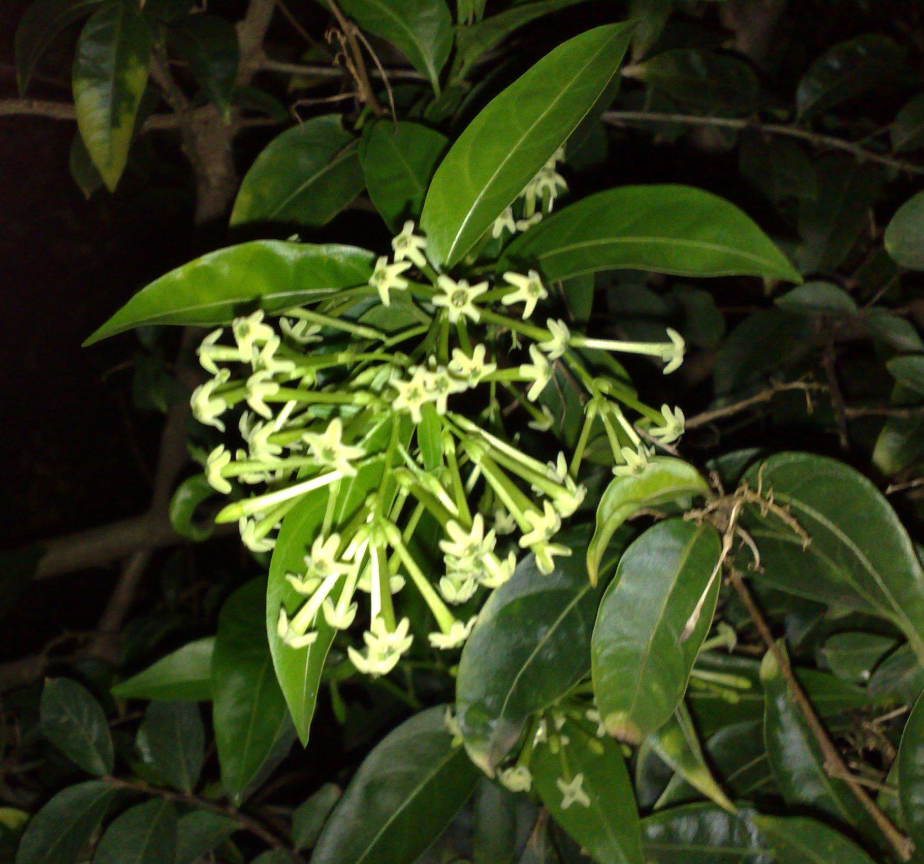 Floral Dama Da Noite Florais Filhas de Gaia
