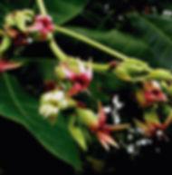 Floral Cajú Filhas de Gaia