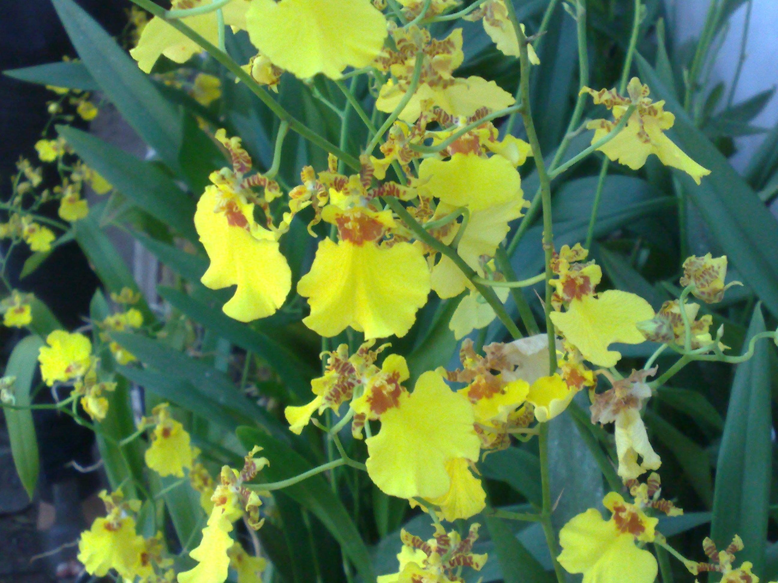 Floral Chuva de Ouro Florais Filhas de Gaia