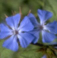 Floral de Bach Cerato