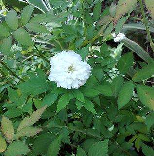 Floral Rosina Branca Filhas de Gaia