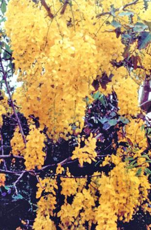 Floral Cássia Imperial Florais Filhas de Gaia