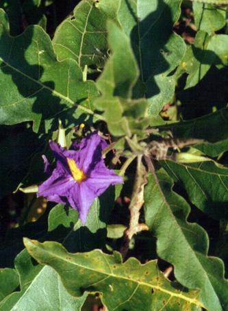Floral Fruta de Lobo Florais Filhas de Gaia