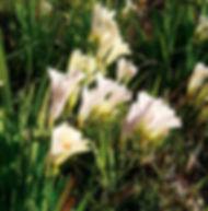 Floral Frésias Filhas de Gaia