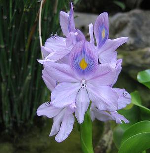 Floral Dama do Lago Filhas de Gaia