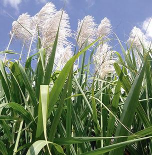 Floral Cana de Açucar Filhas de Gaia