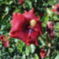 Floral Hibisco Vermelho Filhas de Gaia