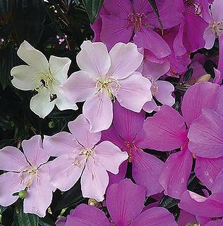 Floral Manacá da Serra Filhas de Gaia