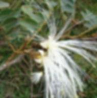 Floral Ingá Filhas de Gaia