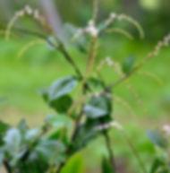 Floral Guiné Filhas de Gaia