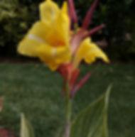 Floral Caeté Amarelo Filhas de Gaia