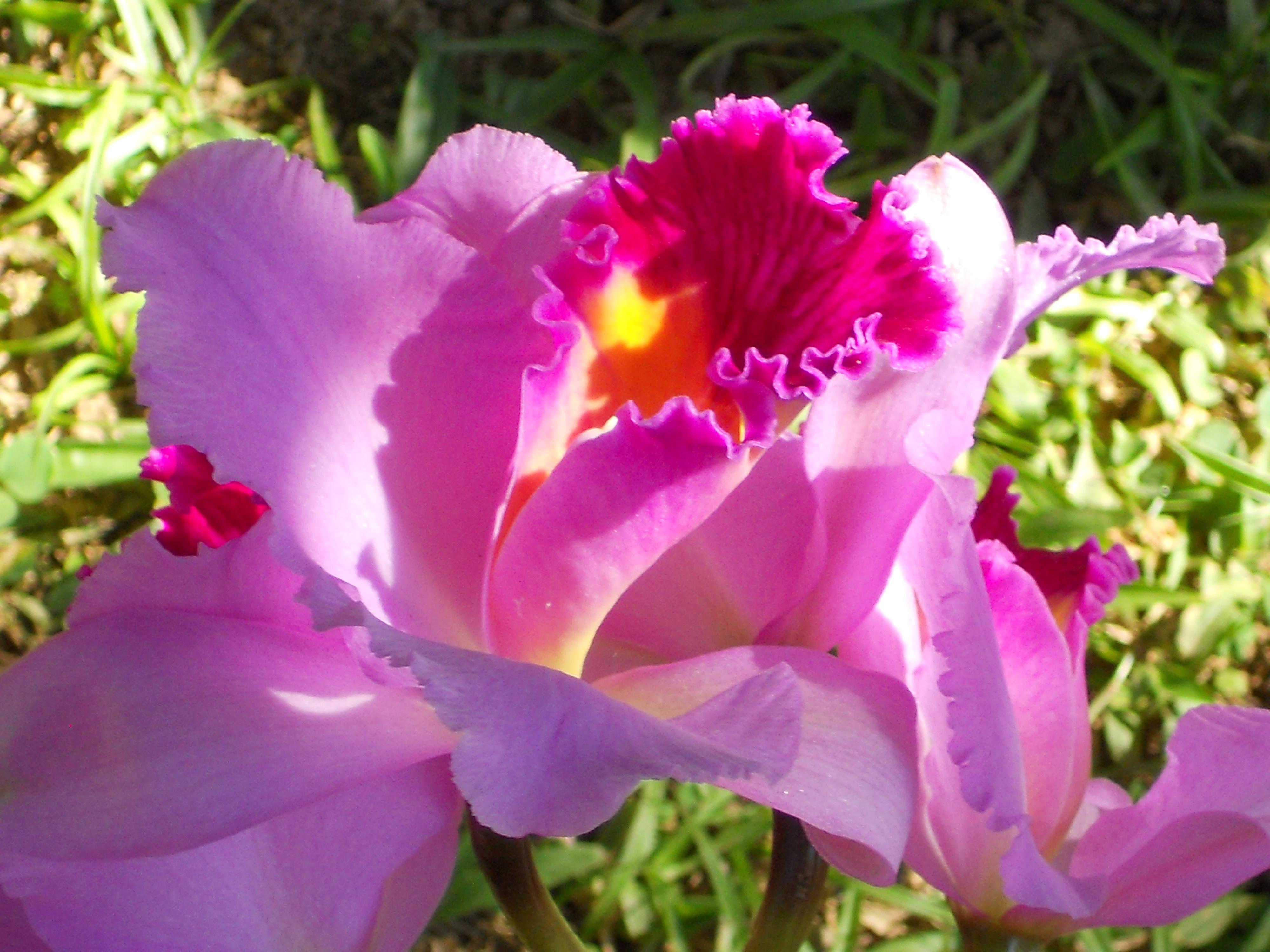 Floral Catleia Rainha Florais Filhas de Gaia