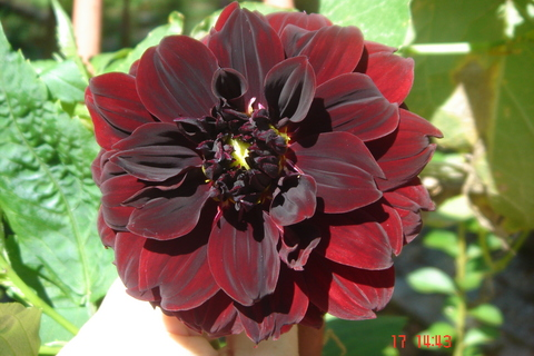 Floral Dalia Rubra Florais Filhas de Gaia