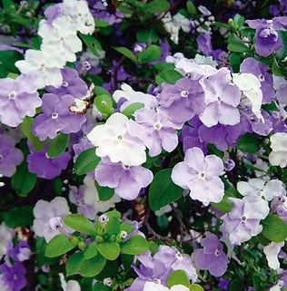 Floral Manacá Cheiroso Filhas de Gaia