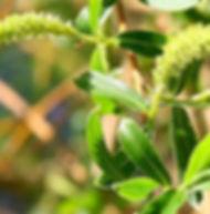 Floral de Bach Willow