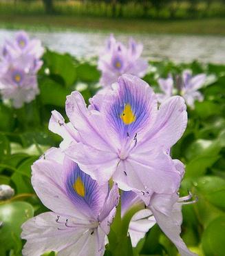 Floral Dama do Lago Florais Filhas de Gaia