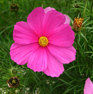 Floral Cosmos Magenta Filhas de Gaia