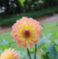 Floral Dália Solar Filhas de Gaia