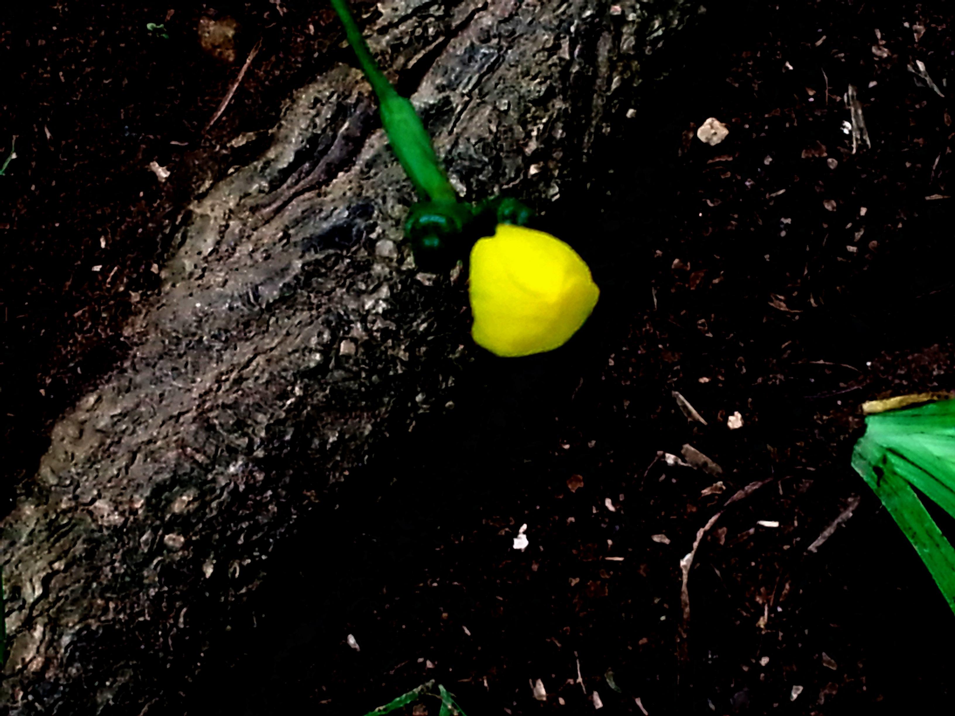 Floral Cálice de Ouro Florais Filhas de Gaia