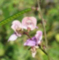 Floral Ervilha Lilás Filhas de Gaia
