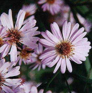 Floral Astér Lilás Filhas de Gaia