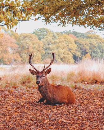 Richmond Deer