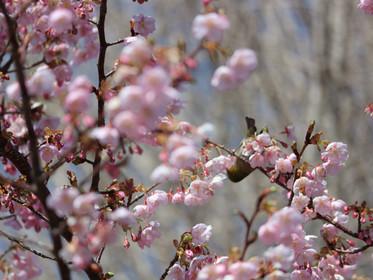 逆さメジロに春の香り