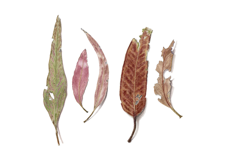 5 Eucalyptus leaves
