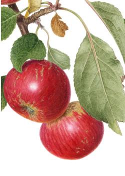 Akane apples detail