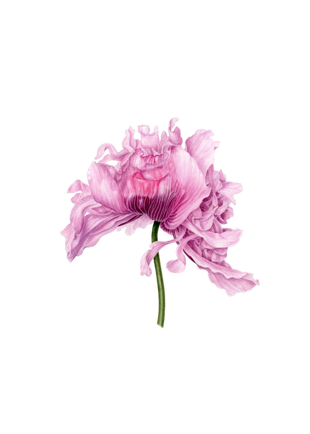 Frilly pink poppy