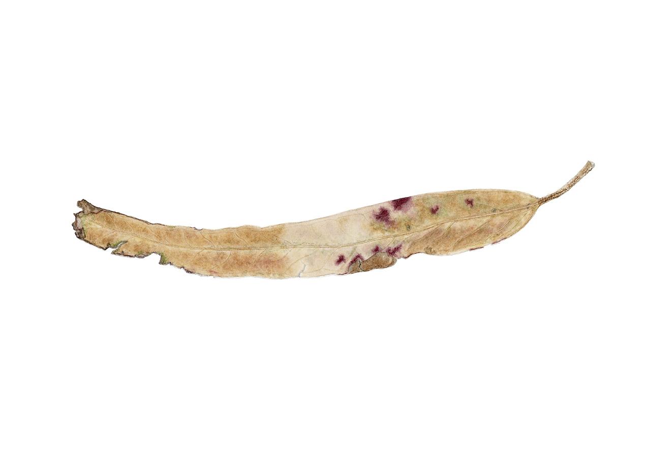 Eucalyptus leaf 3