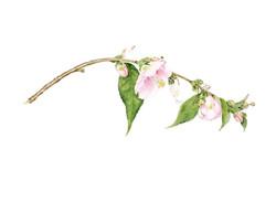 Camellia 'Little gem'