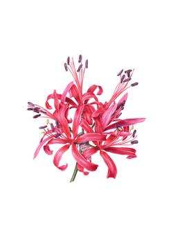 Nerine 'Coral Queen'