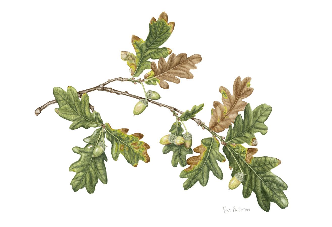 English Oak branch
