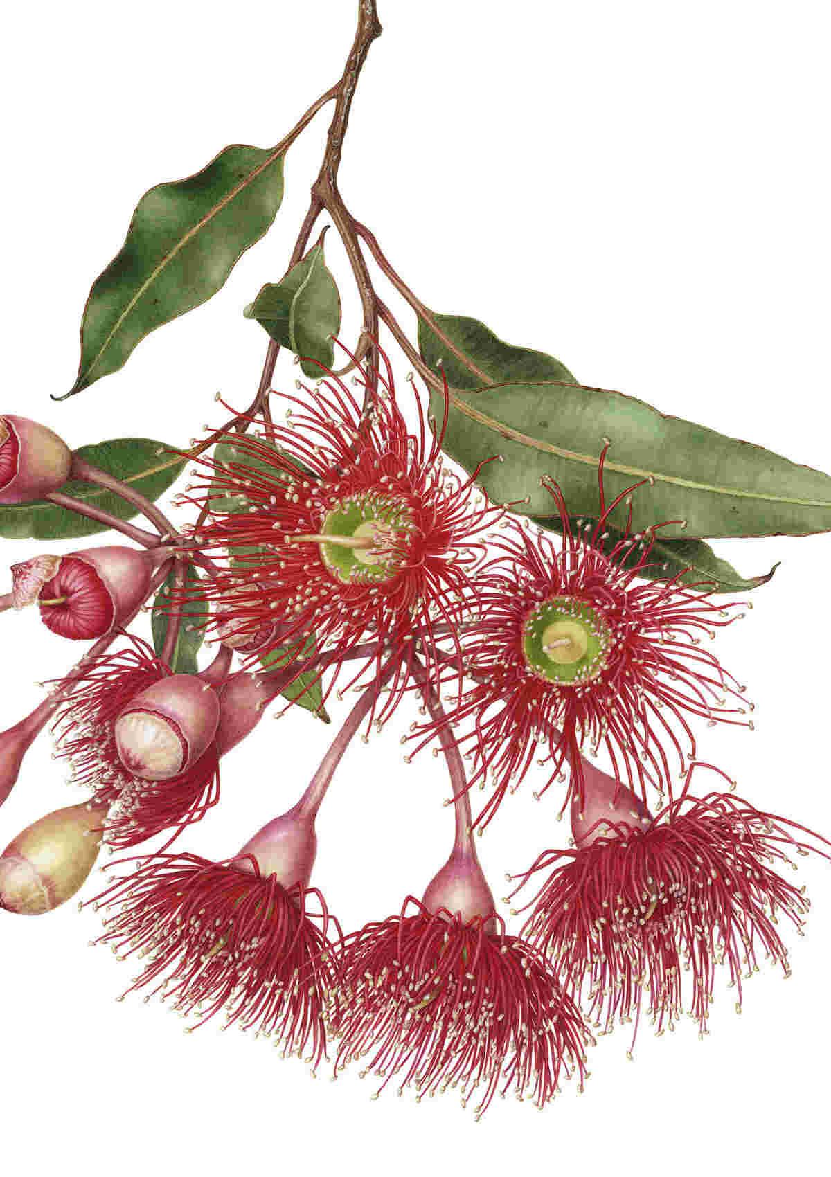 Red flowering gum